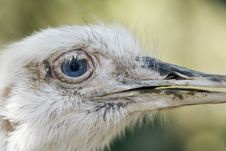Free Ostrich Stock Image - 5423171