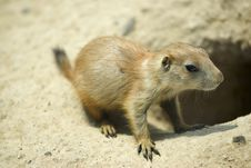 Free Prairie Dog Royalty Free Stock Image - 5423206