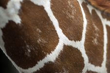 Free Giraffe Hide Abstract Royalty Free Stock Photography - 5423207