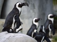 Free African Penguins Stock Images - 5423224