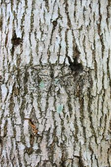 Free Bark Texture Royalty Free Stock Images - 5423359