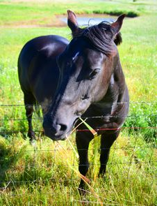 Black Horse In The Field Stock Images