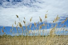 Free Fields Of Gold Royalty Free Stock Photography - 5423827