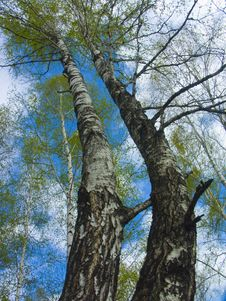 Free The Spring Sky Through Branches Of A Birch Royalty Free Stock Photos - 5423948