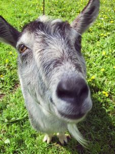 Free Head Of Goat Stock Photography - 5426102