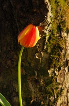 Free Single Tulip Royalty Free Stock Photos - 5426118
