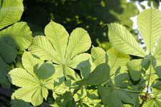 Chestnut Tree Leaves Royalty Free Stock Images