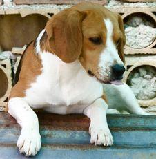 Free Beagle Stock Photography - 5427122