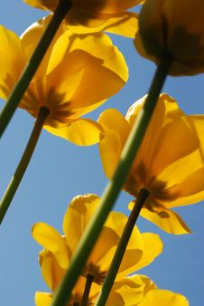 Free Yellow Tulips Royalty Free Stock Photo - 5427245