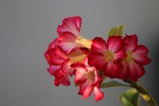 Free Desert Flower Royalty Free Stock Photos - 54224998