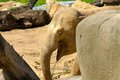 Free Indian Elephants Royalty Free Stock Photos - 54244558