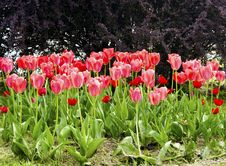 Pink Tulips On The Flowerbed In The Park Royalty Free Stock Photography