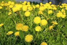 Yellow Dandelions In The Park Stock Photo