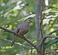 Free Mourning Dove Stock Photo - 5431010