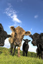 Free Cows Royalty Free Stock Photo - 5432405