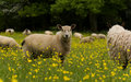 Free Sheep In Buttercups Royalty Free Stock Photos - 5432538