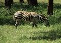 Free Zebra Eating Stock Photos - 5434733