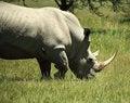 Free White Rhino And Birds Royalty Free Stock Photography - 5434927