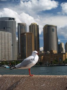 Free Seagull And City Of Sydney Stock Image - 5430811