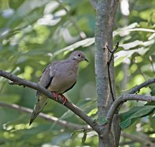 Free Mourning Dove Stock Photo - 5431010