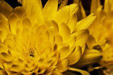 Free Golden Daisy Stock Image - 5431081