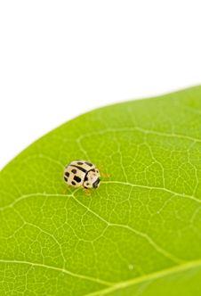 Free Yellow Ladybug Royalty Free Stock Photo - 5431325