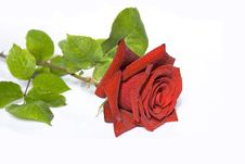 Free The Rose Stock Images - 5431434