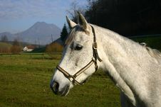 Free White Horse Stock Photos - 5432053