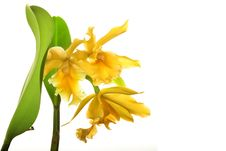 Yellow Orchid Flower Royalty Free Stock Photo