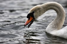Free Swan Stock Photography - 5432392