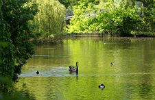 Green Lake With Black Swan Royalty Free Stock Photography