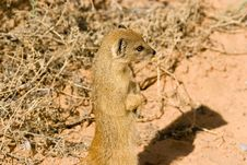 Free White-tailed Mongoose Royalty Free Stock Photography - 5432447