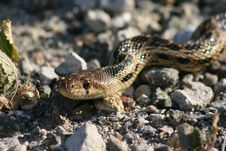 Free Gopher Snake Stock Photography - 5432482