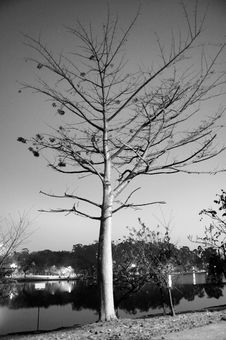 Free Tree Near A Lake-Black And White Photo-Vertical Royalty Free Stock Photo - 5433525