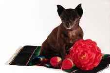Free Mexican Chihuahua Royalty Free Stock Photography - 5433857