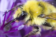 Bumble Bee Gathering Pollen Stock Photography