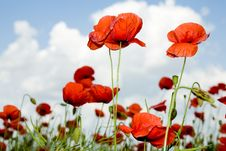 Free Red Poppies Stock Images - 5434604