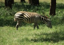 Free Zebra Eating Stock Photos - 5434733
