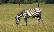 Free Zebra At Lake Nakuru Stock Photography - 5434842