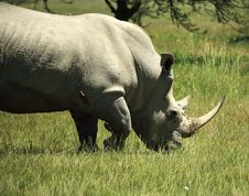 Free White Rhino And Birds Royalty Free Stock Photography - 5434927
