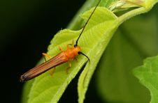 Free Cerambycidae(Oberea Fuscipennis ) Stock Photos - 5436033