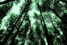 Free Pine Forest Royalty Free Stock Images - 5437339