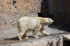 Free Wet White Bear Stock Image - 5439251