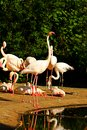 Free Phoenicopterus Roseus Royalty Free Stock Photography - 54370867