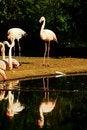 Free Phoenicopterus Roseus Stock Photography - 54370962