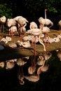 Free Phoenicopterus Roseus Royalty Free Stock Images - 54371009