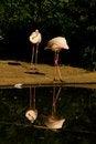 Free Phoenicopterus Roseus Stock Photo - 54371280
