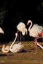 Free Phoenicopterus Roseus Stock Image - 54371391