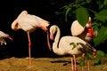 Free Phoenicopterus Roseus Stock Photos - 54371543