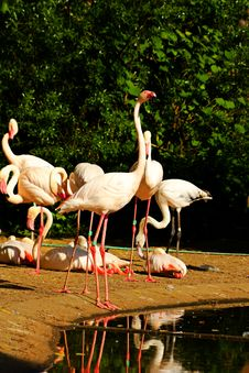 Free Phoenicopterus Roseus Royalty Free Stock Photography - 54370867